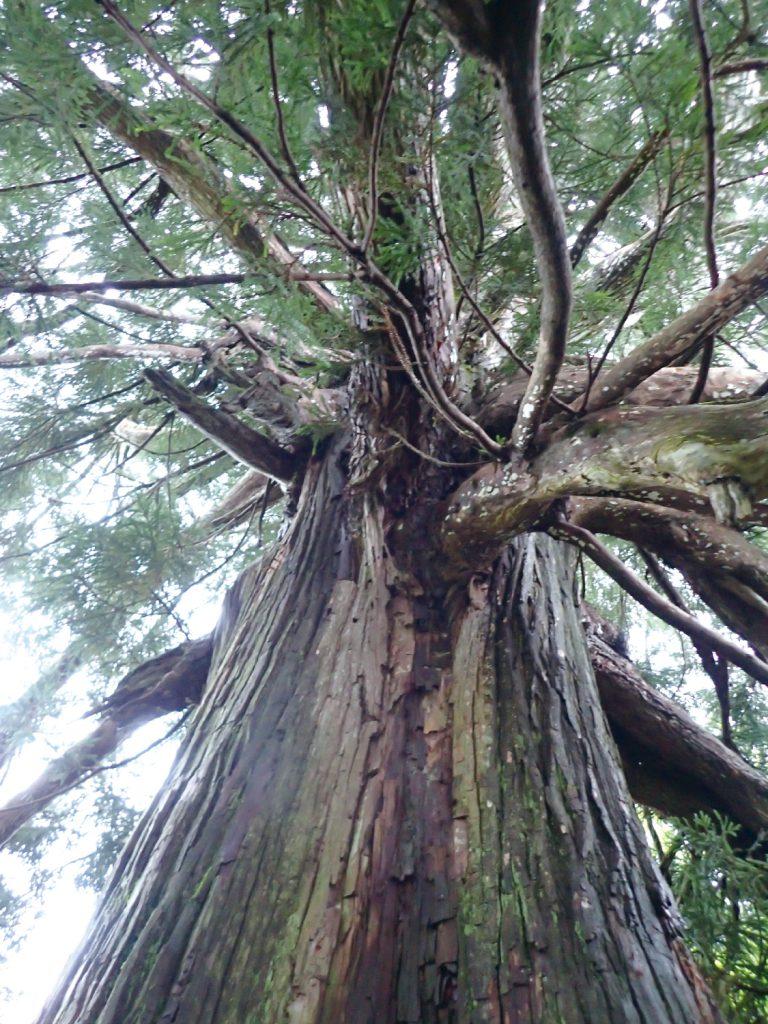 飯豊山信仰 古木